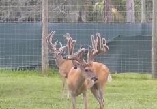 3 Old Bucks 2017 (2)