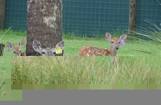 doe-with-fawns