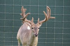 yearling-bucks-2018-(1)