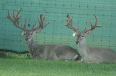 yearling-bucks-2018-(8)