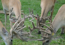 yearling-bucks-2017 (2)