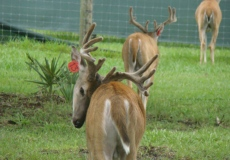 yearling-bucks-2017 (3)