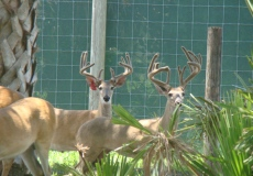 yearling-bucks-2017 (4)