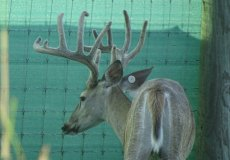 yearling-bucks-2018-(3)