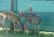 yearling-bucks-2018-(6)