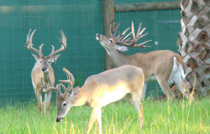 Florida Buck Breeding