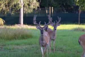 Florida Stocker Bucks for Sale